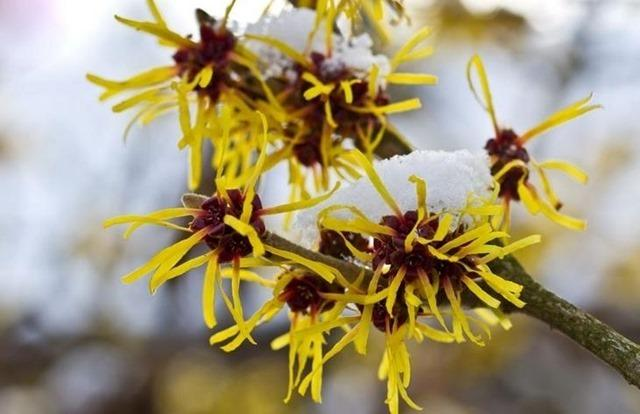 5.-Witch-Hazel-